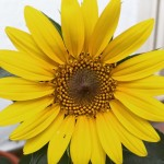 Perkembangan Pokok Bunga Common Sunflower Kimi